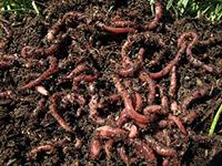 Содержание червей
