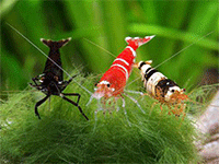 Породистые креветки