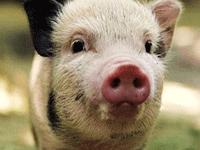 Породистая свинка