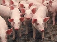 Свинки на фермах