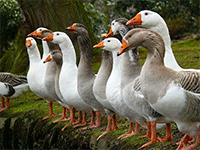 Содержание и выращивание гусей