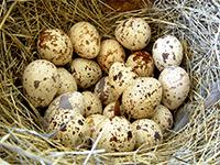 Яйца перепелов