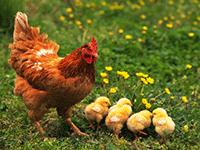 Выращивание кур