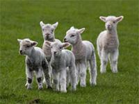 Маленькие овечки