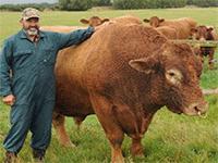 Выращивание быков