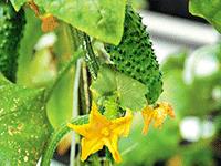 Открываем теплицу по выращиванию огурцов