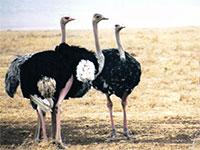 Взрослые страусы