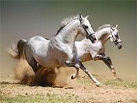 Породистые лошади