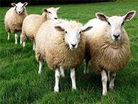 Овцеводство: составляем бизнес-план и начинаем работать