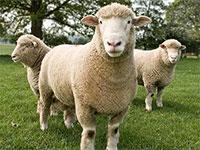 Продажа овец